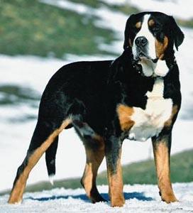 Bernese Mountain Dog Collar